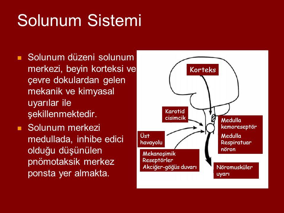 Solunum Sistemi PaO 2 ve PaCO 2 'deki değişiklikler medulladaki merkezi ve karotid cisimcikleri etkileyerek solunumu uyarmaktadır.