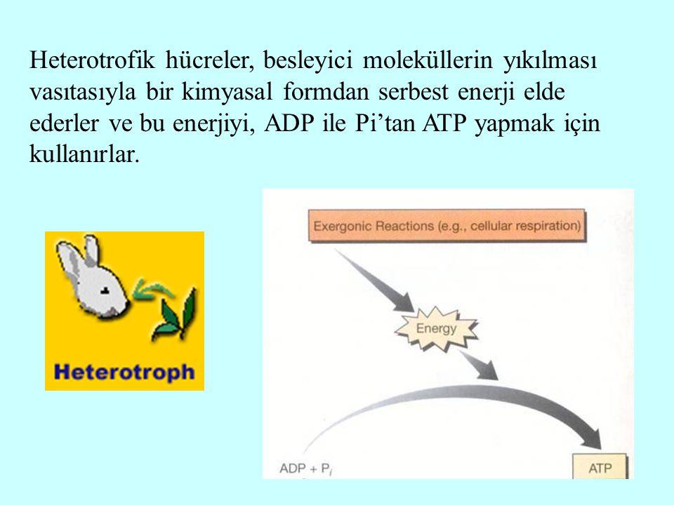 Heterotrofik hücreler, besleyici moleküllerin yıkılması vasıtasıyla bir kimyasal formdan serbest enerji elde ederler ve bu enerjiyi, ADP ile Pi'tan AT
