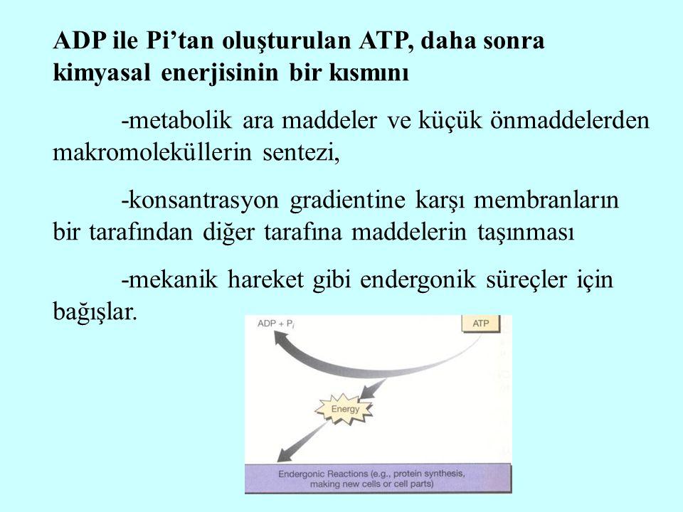 ADP ile Pi'tan oluşturulan ATP, daha sonra kimyasal enerjisinin bir kısmını -metabolik ara maddeler ve küçük önmaddelerden makromoleküllerin sentezi,