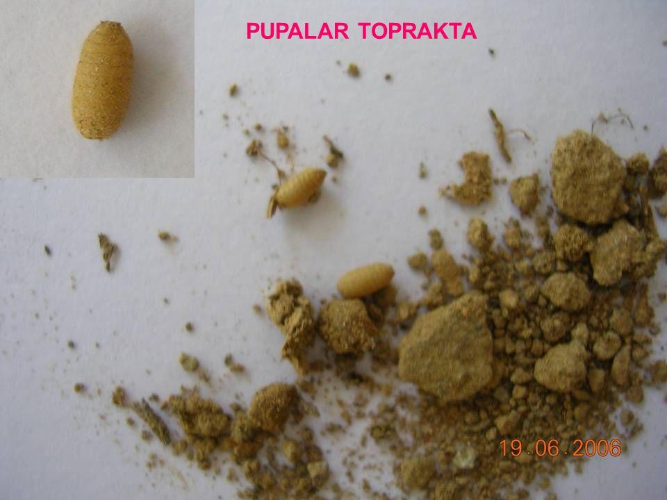 PUPALAR TOPRAKTA