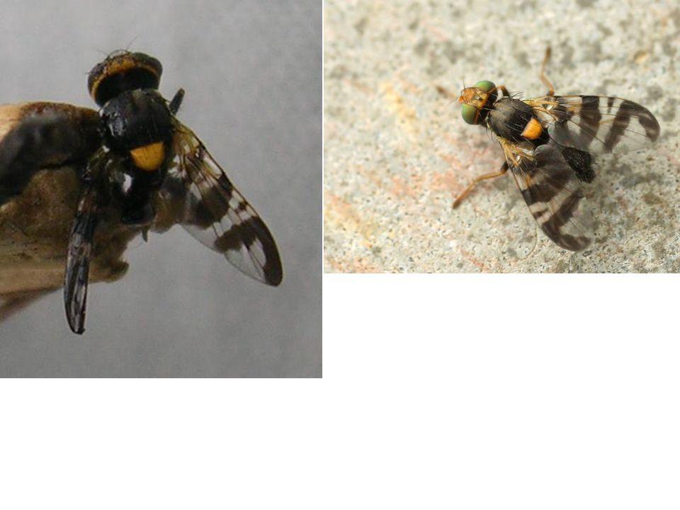 Konukçuları kiraz ve vişne, ara konukçusu hanımeli (Lomicera) türleri olan; kiraz sineğinin ergini 4-5mm.