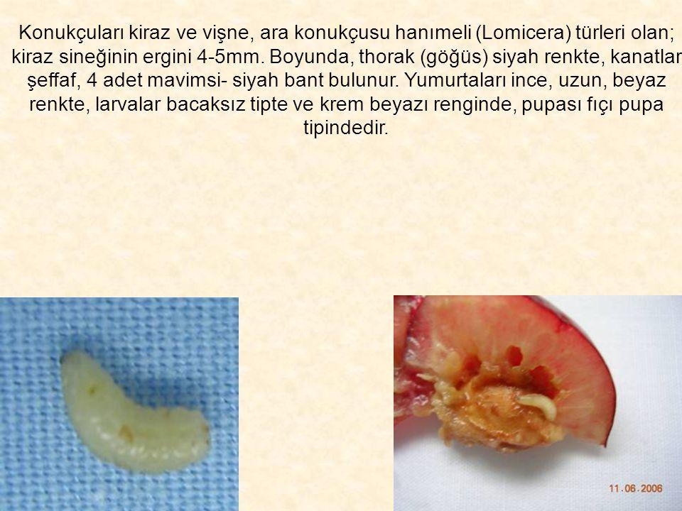 Konukçuları kiraz ve vişne, ara konukçusu hanımeli (Lomicera) türleri olan; kiraz sineğinin ergini 4-5mm. Boyunda, thorak (göğüs) siyah renkte, kanatl
