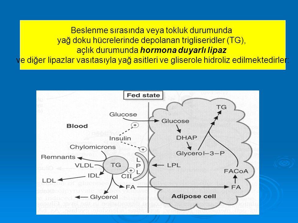 Beslenme sırasında veya tokluk durumunda yağ doku hücrelerinde depolanan trigliseridler (TG), açlık durumunda hormona duyarlı lipaz ve diğer lipazlar