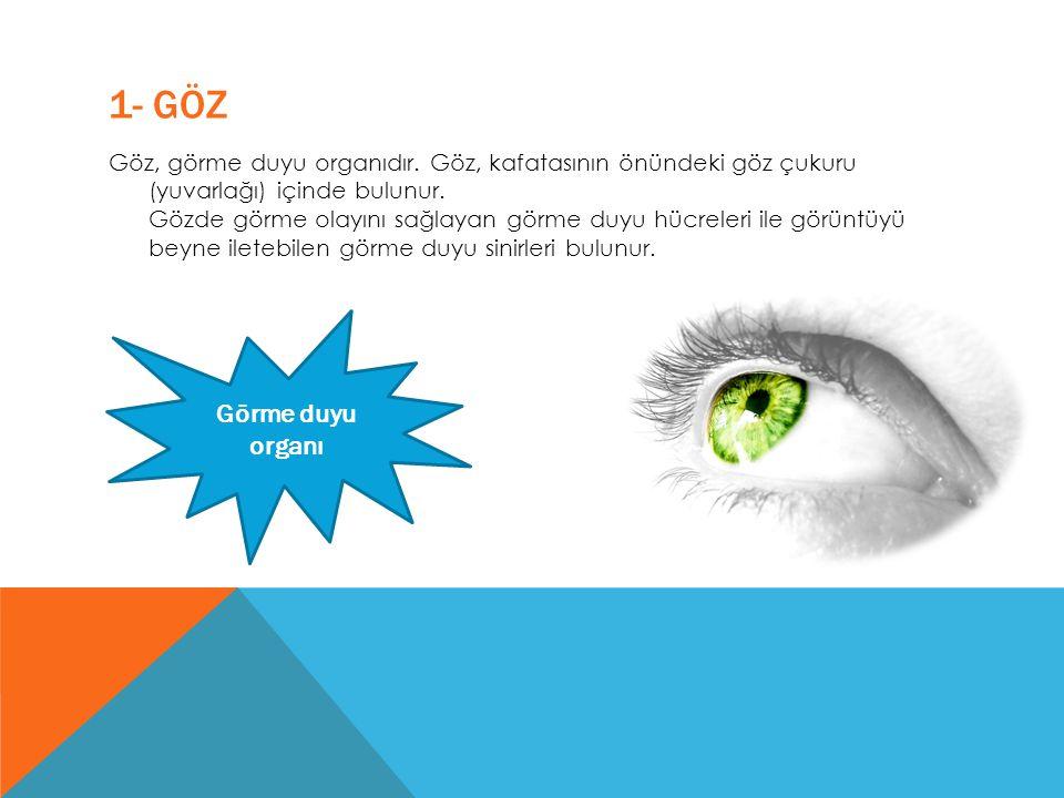 1- GÖZ Göz, görme duyu organıdır. Göz, kafatasının önündeki göz çukuru (yuvarlağı) içinde bulunur. Gözde görme olayını sağlayan görme duyu hücreleri i
