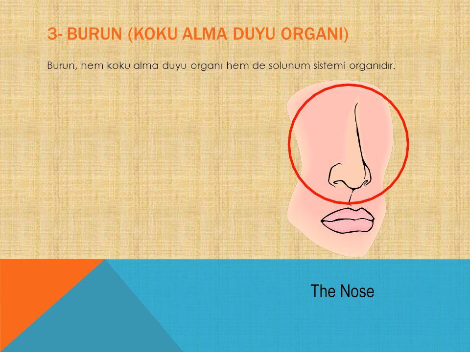 3- BURUN (KOKU ALMA DUYU ORGANI) Burun, hem koku alma duyu organı hem de solunum sistemi organıdır.