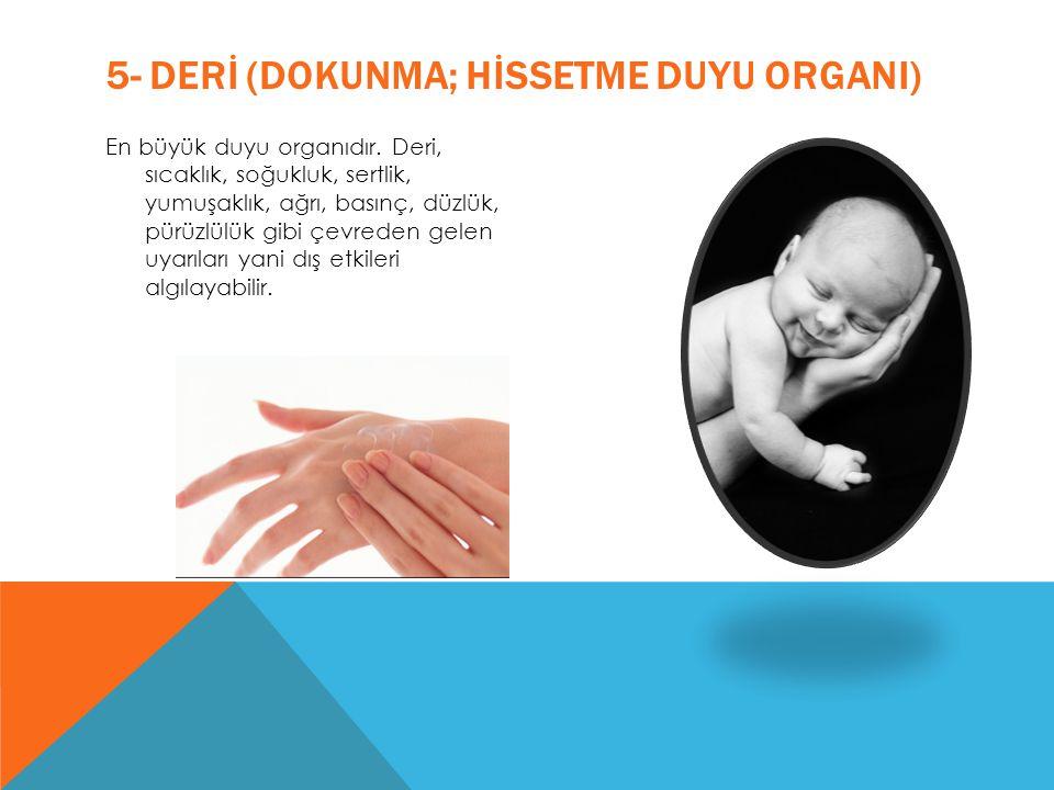 5- DERİ (DOKUNMA; HİSSETME DUYU ORGANI) En büyük duyu organıdır. Deri, sıcaklık, soğukluk, sertlik, yumuşaklık, ağrı, basınç, düzlük, pürüzlülük gibi