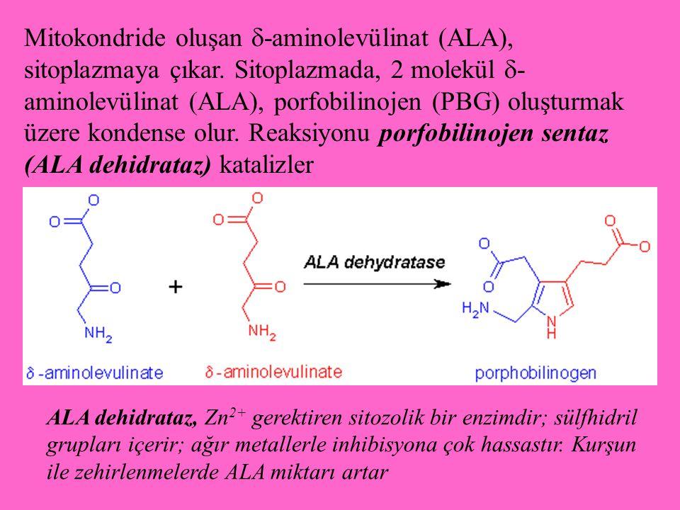 Mitokondride oluşan  -aminolevülinat (ALA), sitoplazmaya çıkar. Sitoplazmada, 2 molekül  - aminolevülinat (ALA), porfobilinojen (PBG) oluşturmak üze