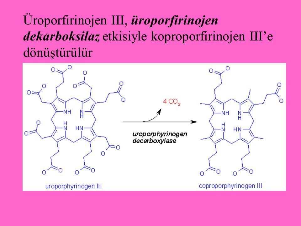 Üroporfirinojen III, üroporfirinojen dekarboksilaz etkisiyle koproporfirinojen III'e dönüştürülür