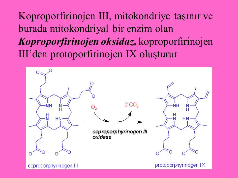 Koproporfirinojen III, mitokondriye taşınır ve burada mitokondriyal bir enzim olan Koproporfirinojen oksidaz, koproporfirinojen III'den protoporfirino