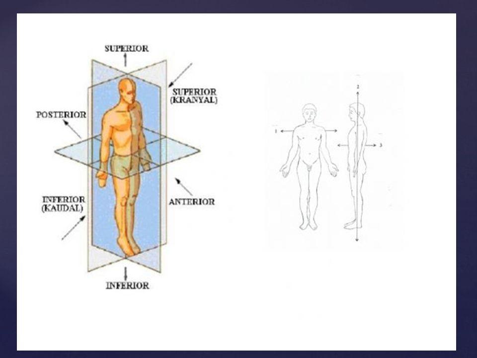 HAREKET SİSTEMİ yön bildiren Anatomik terimler