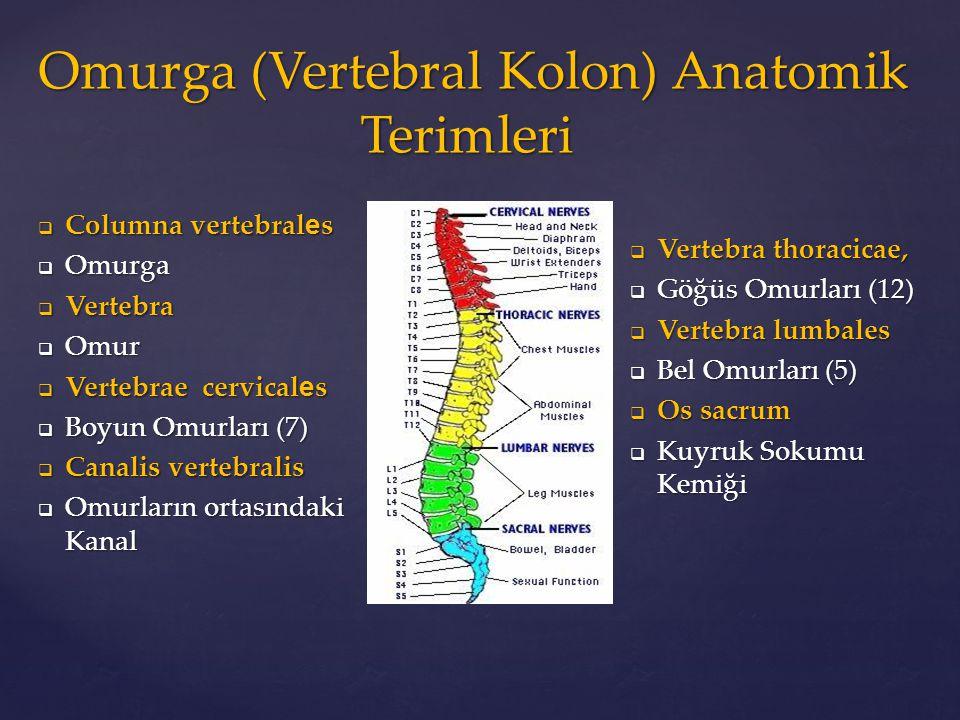  Columna vertebral e s  Omurga  Vertebra  Omur  Vertebrae cervical e s  Boyun Omurları (7)  Canalis vertebralis  Omurların ortasındaki Kanal 