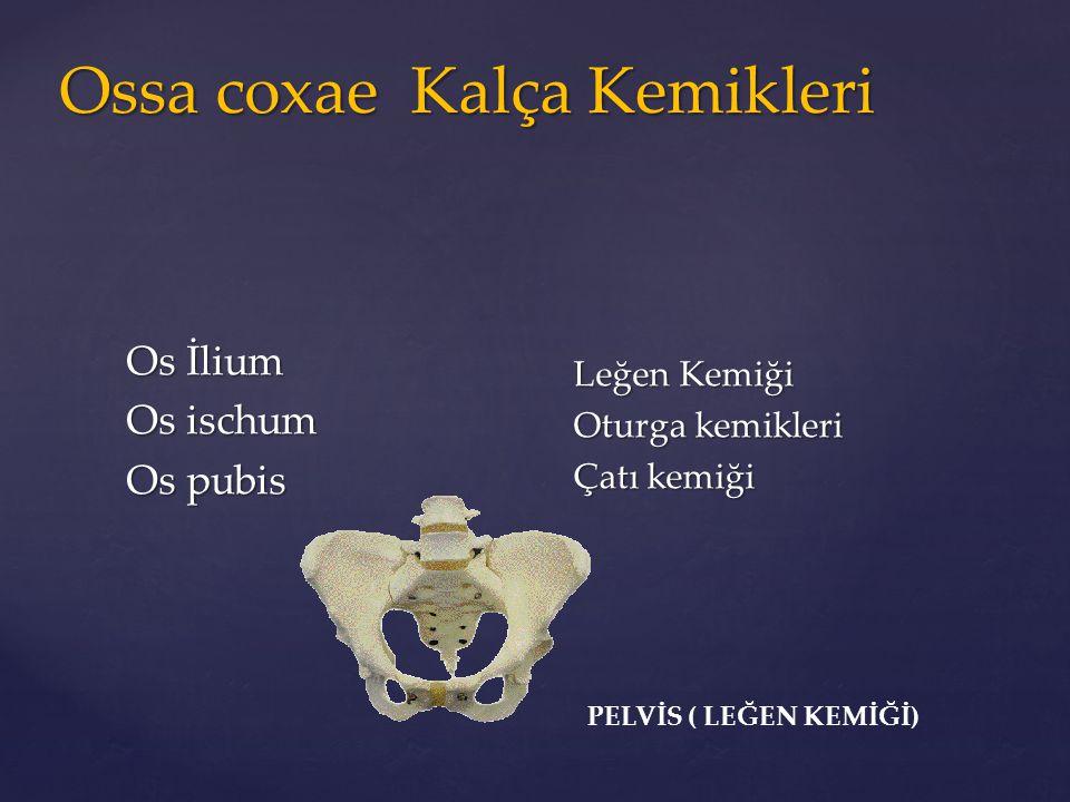 Os İlium Os İlium Os ischum Os ischum Os pubis Os pubis Leğen Kemiği Oturga kemikleri Çatı kemiği PELVİS ( LEĞEN KEMİĞİ) Ossa coxae Kalça Kemikleri