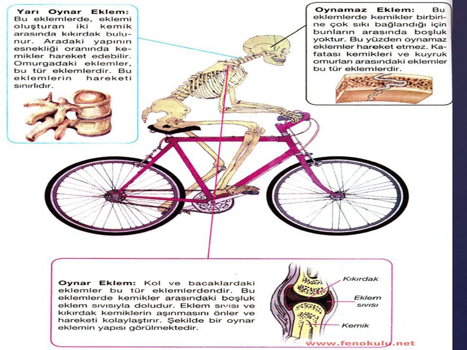 HAREKET SİSTEMİ Anatomik terimler  TERİMLER  ANLAMLARI