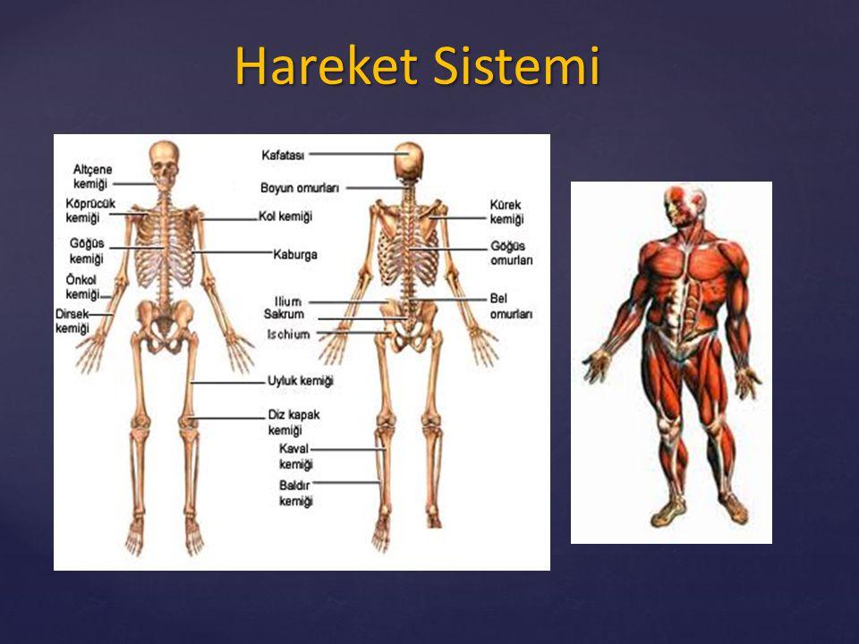 İskelet Sistemi Toplam 206 kemik Os: tekil, Ossa: çoğul Skeleton axiale Baş-boyun-gövdeye ait Skeleton appendiculare Üst ve alt taraf, kol bacak kemikleri 80 126