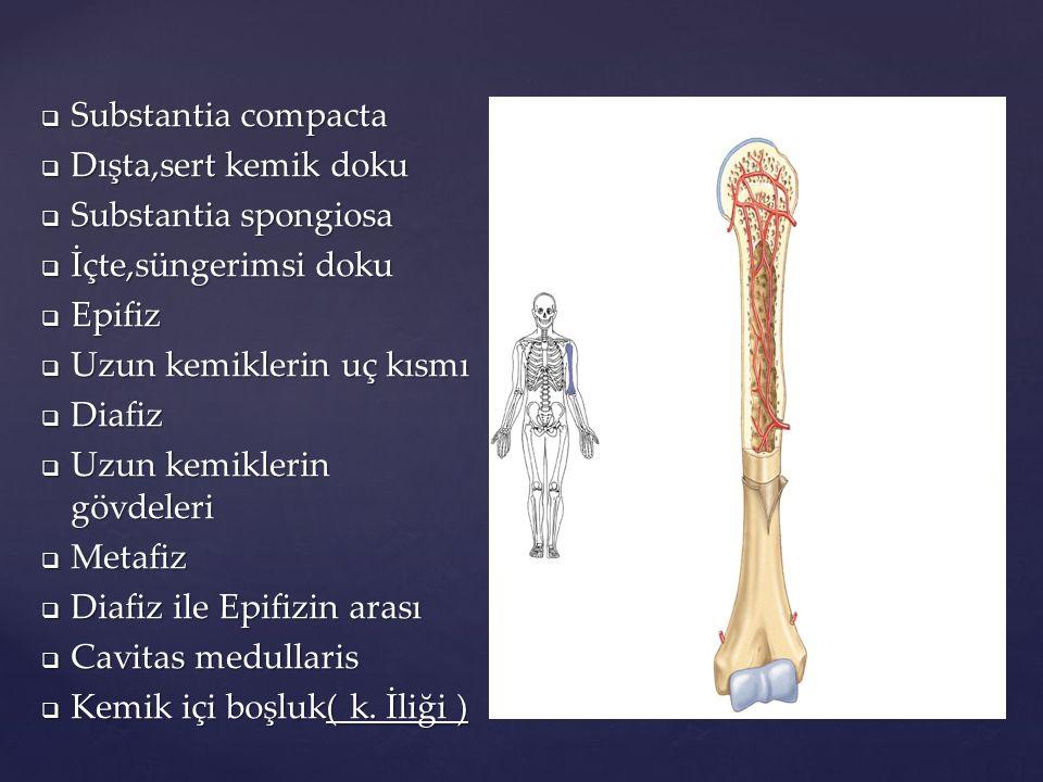  Substantia compacta  Dışta,sert kemik doku  Substantia spongiosa  İçte,süngerimsi doku  Epifiz  Uzun kemiklerin uç kısmı  Diafiz  Uzun kemikl