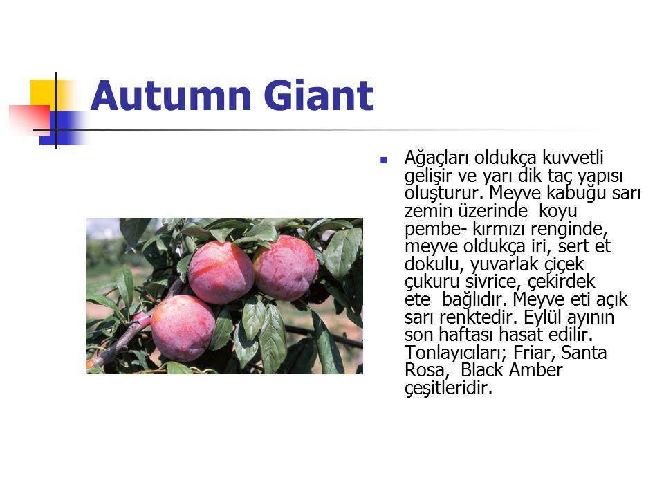 Autumn Giant Ağaçları oldukça kuvvetli gelişir ve yarı dik taç yapısı oluşturur. Meyve kabuğu sarı zemin üzerinde koyu pembe- kırmızı renginde, meyve