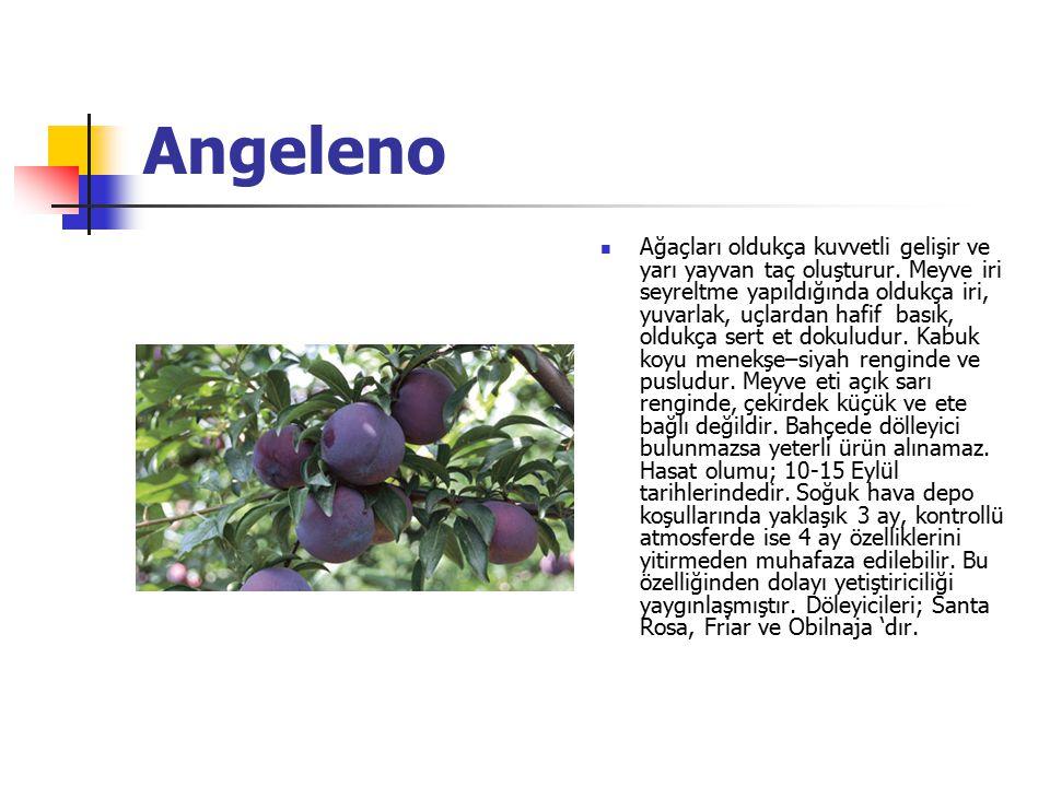 Angeleno Ağaçları oldukça kuvvetli gelişir ve yarı yayvan taç oluşturur. Meyve iri seyreltme yapıldığında oldukça iri, yuvarlak, uçlardan hafif basık,