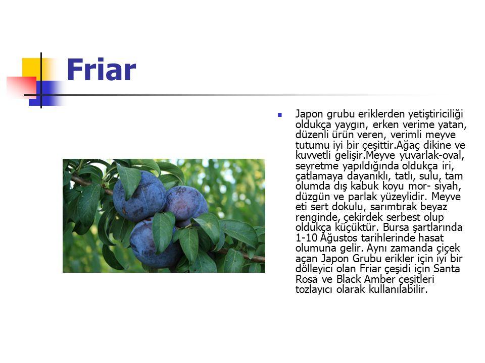 Friar Japon grubu eriklerden yetiştiriciliği oldukça yaygın, erken verime yatan, düzenli ürün veren, verimli meyve tutumu iyi bir çeşittir.Ağaç dikine