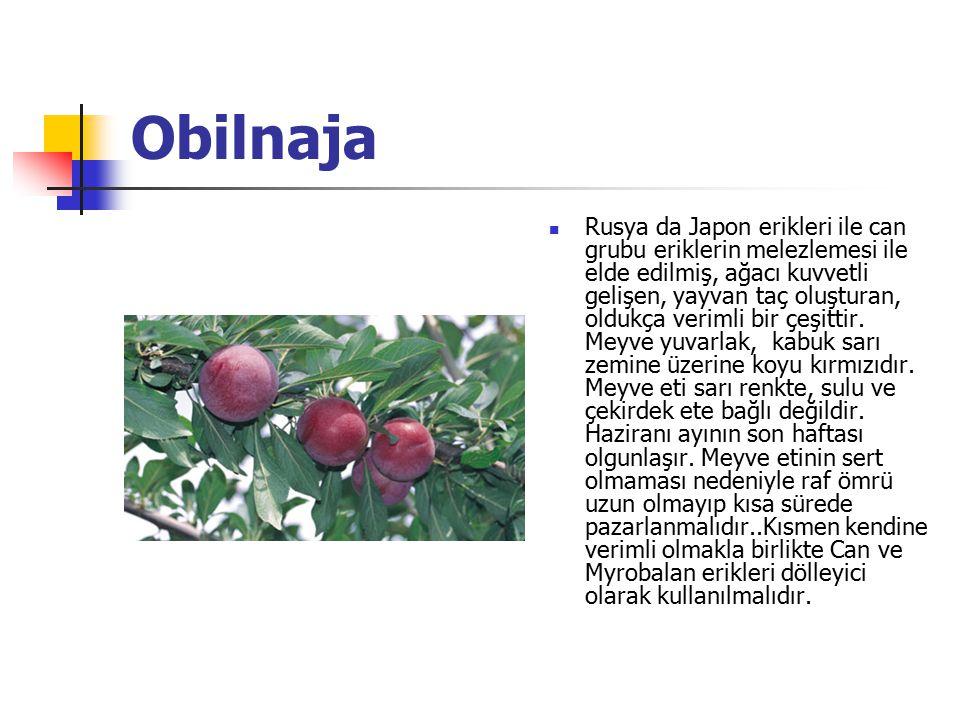 Obilnaja Rusya da Japon erikleri ile can grubu eriklerin melezlemesi ile elde edilmiş, ağacı kuvvetli gelişen, yayvan taç oluşturan, oldukça verimli b