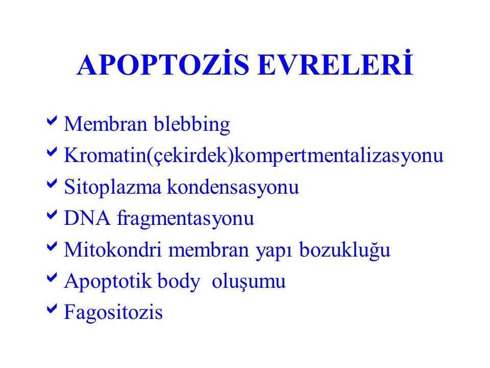APOPTOZİS 1- Özel grup hücrelerde meydana gelir 2- Hormonal değişim ve büyüme faktörlerinin yokluğu gibi fizyolojik sitimülasyona bağlı gelişir 3- Apoptotik body ler makrofaj ve diğer komşu hücrelerce fagosite edilir 4- İnflamasyonel yanıt görülmez.