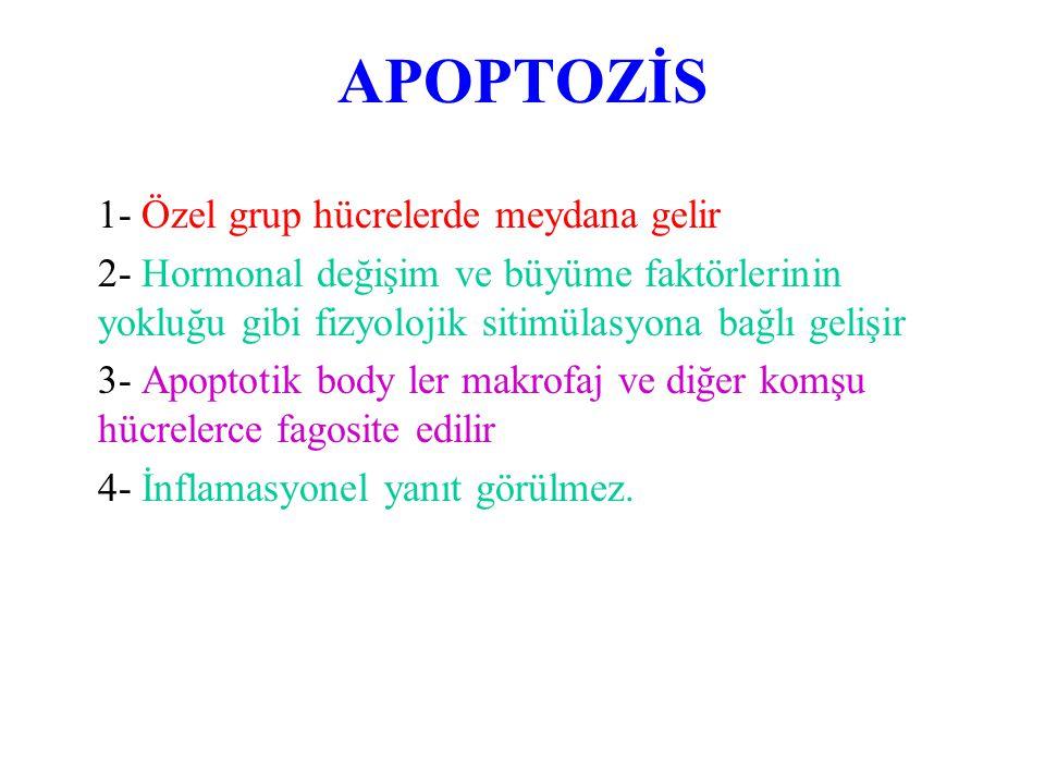 APOPTOZİS ÖZELLİKLERİ  Enzimatik basamakları düzenlenebilen mekanizmadır  37 C'de meydana gelen ATP bağımlı bir mekanizmadır.