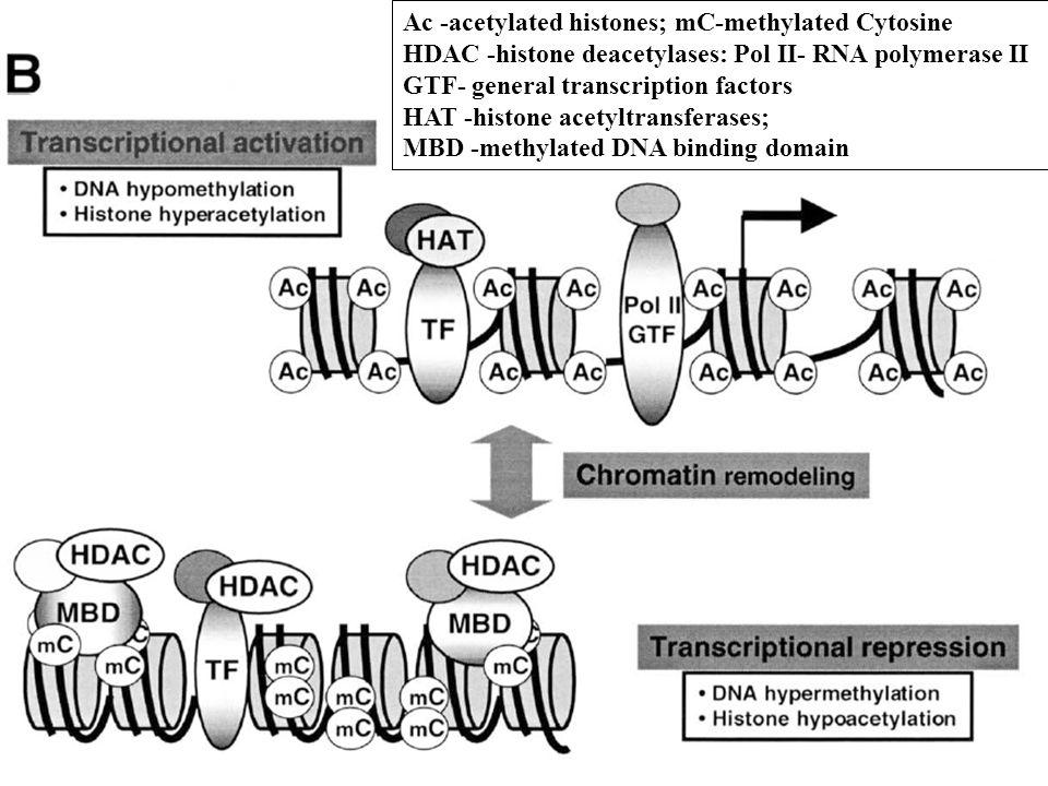 Ac -acetylated histones; mC-methylated Cytosine HDAC -histone deacetylases: Pol II- RNA polymerase II GTF- general transcription factors HAT -histone