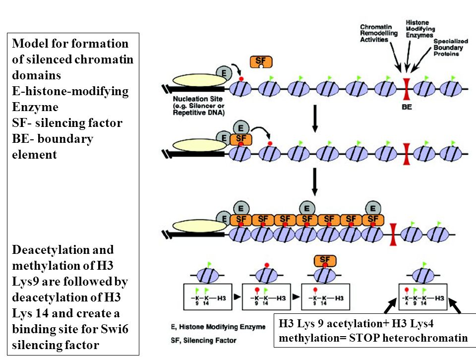 Model for formation of silenced chromatin domains E-histone-modifying Enzyme SF- silencing factor BE- boundary element Deacetylation and methylation of H3 Lys9 are followed by deacetylation of H3 Lys 14 and create a binding site for Swi6 silencing factor H3 Lys 9 acetylation+ H3 Lys4 methylation= STOP heterochromatin