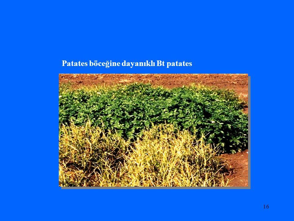 16 Patates böceğine dayanıklı Bt patates