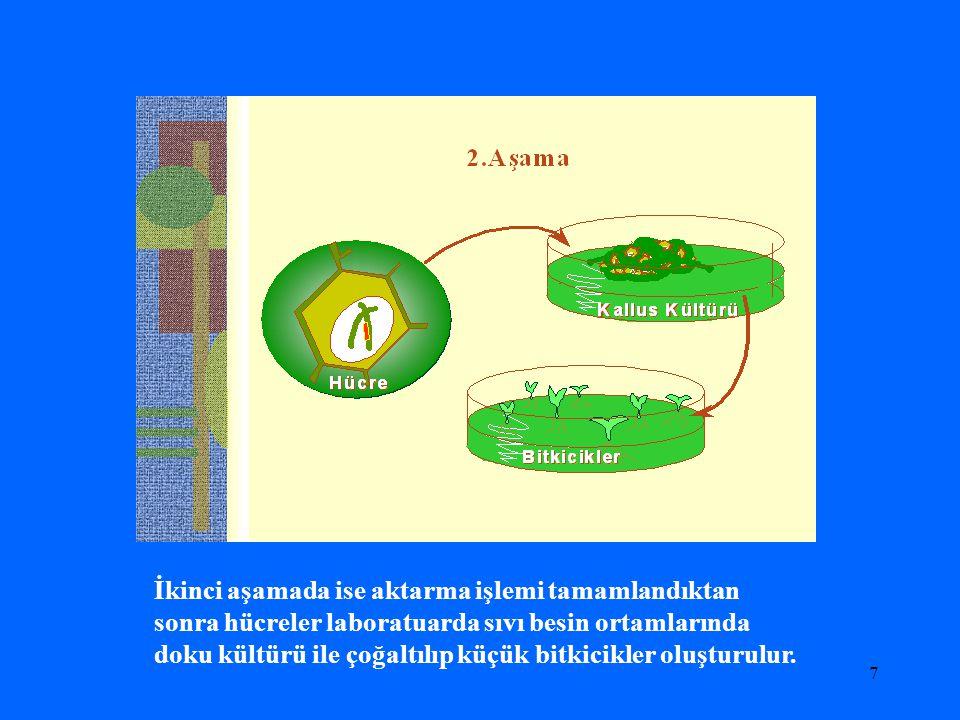 7 İkinci aşamada ise aktarma işlemi tamamlandıktan sonra hücreler laboratuarda sıvı besin ortamlarında doku kültürü ile çoğaltılıp küçük bitkicikler o