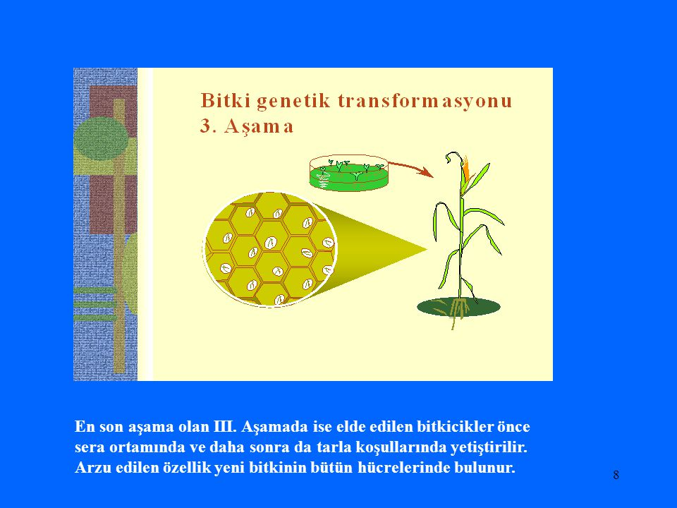 8 En son aşama olan III. Aşamada ise elde edilen bitkicikler önce sera ortamında ve daha sonra da tarla koşullarında yetiştirilir. Arzu edilen özellik