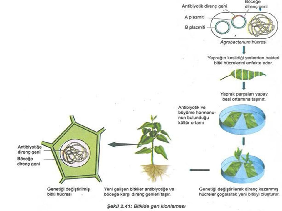 10 Mevcut Transgenik Bitkiler; Bitki biyoteknolojisi sayesinde geliştirilen yeni çeşitler aslında bu teknolojinin tarihsel gelişimi hakkında bizlere bilgi vermektedir.