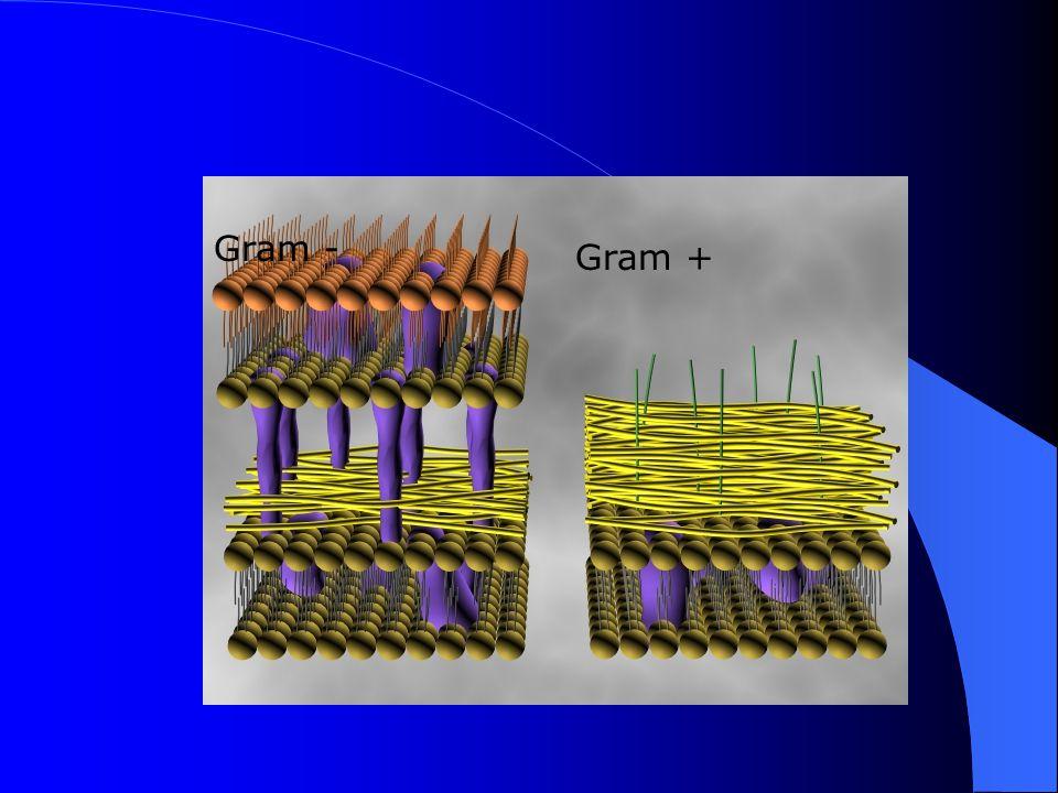 Gram Boyama Gram + hücreler Gram – hücreler İlk boya Crystal violet Mor Mordant: Iodine Mor Dekolorize ajan: Alkol MorRenksiz Karşıt boya: Safranin MorPembe/kırmızı
