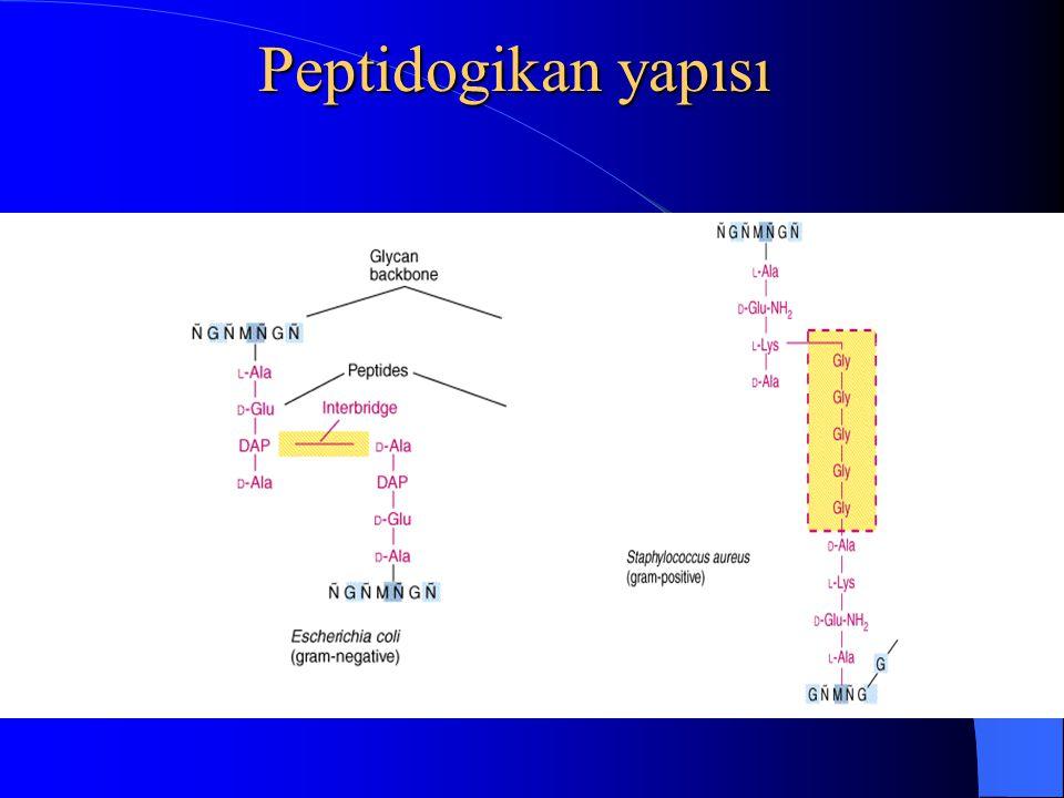 Gram Pozitif: - Peptidoglikan tabakası kalın. - Teikoik asit oldukça büyük miktarda bulunur.