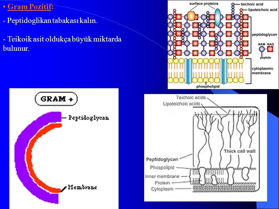 Gram Negatif: - Gram (+)'lerden daha kompleksdir..