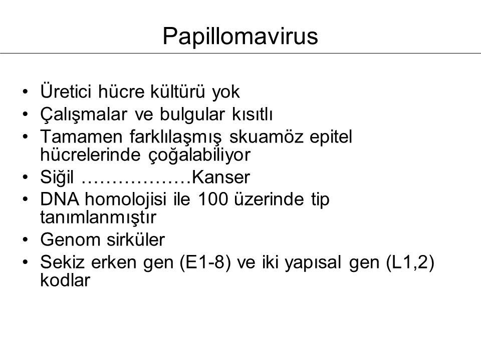 Papillomavirus Üretici hücre kültürü yok Çalışmalar ve bulgular kısıtlı Tamamen farklılaşmış skuamöz epitel hücrelerinde çoğalabiliyor Siğil ………………Kan