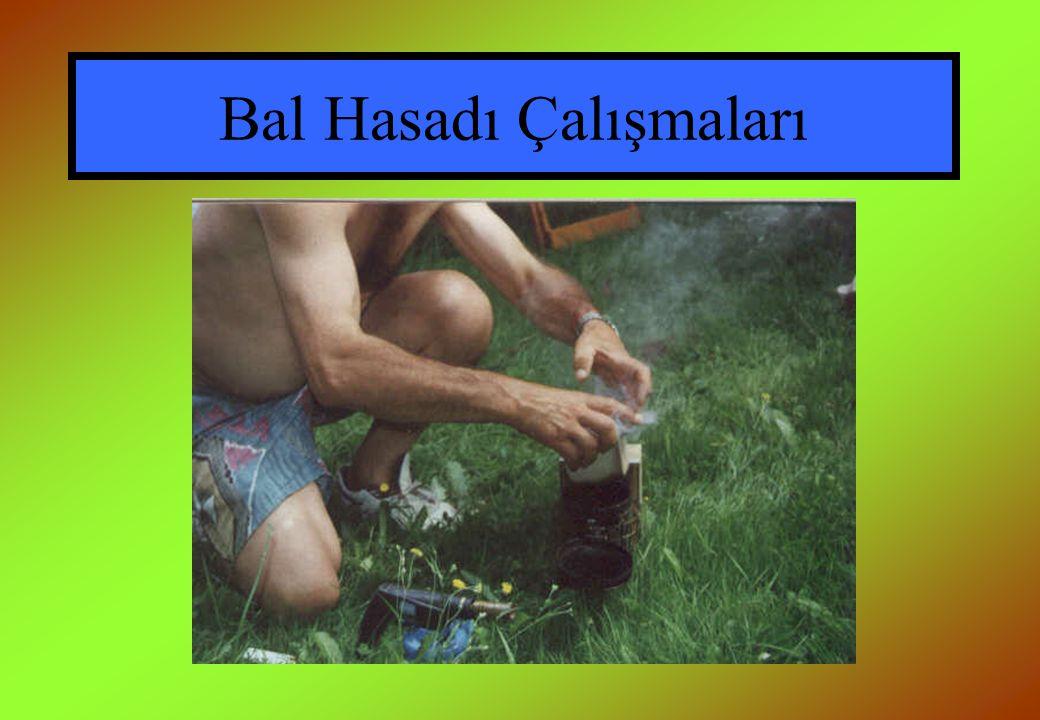Bal Hasadı Çalışmaları