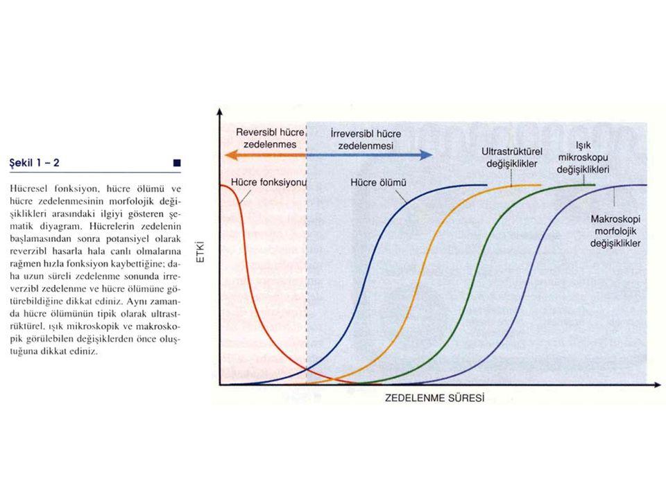 HÜCRE ZEDELENME MEKANİZMALARI Zedeleyici uyarana hücresel cevap; zedelenmenin tipine, süresine ve şiddetine bağlıdır Zedeleyici uyaranların sonucu zed