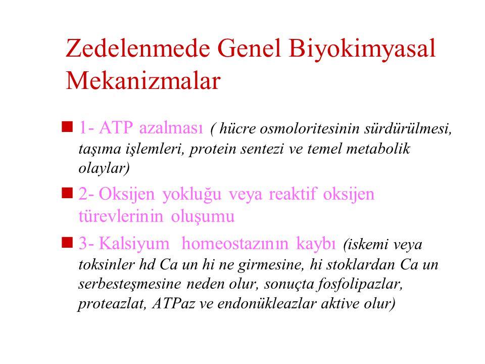 Hücrede zedelenmeye duyarlı 4 h.i sistem  Aerobik solunum (oksidatif fosf. ve ATP)  Enzimlerin ve yapısal proteinlerin sentezi  Membran bütünlüğünü