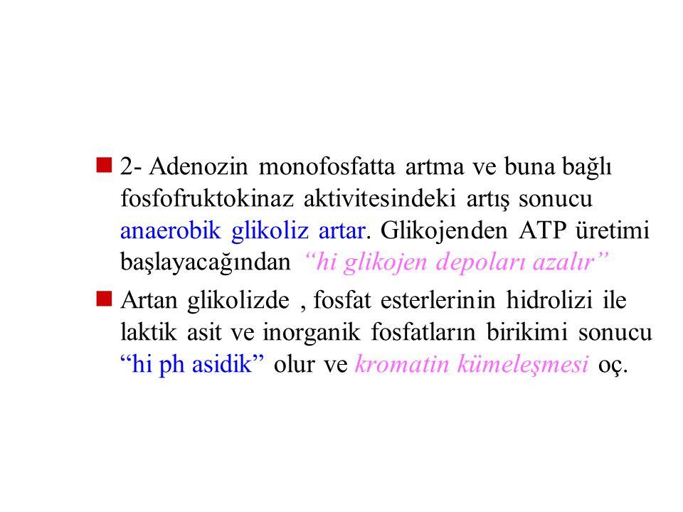 """Hi de ATP azalması sonucu: 1- Hücre membranında ki Na pompası bozulur, Hi de Na birikir ve bunu takiben suyun izoosmotik artışı sonucu """"akut hücresel"""