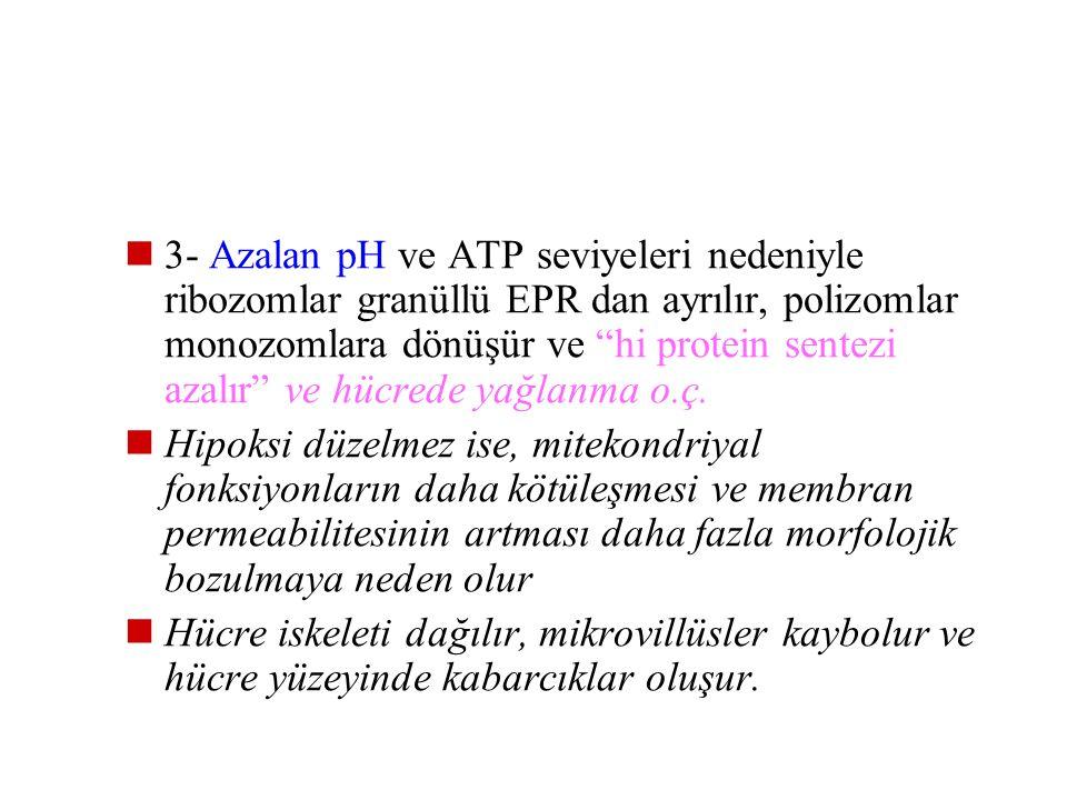 2- Adenozin monofosfatta artma ve buna bağlı fosfofruktokinaz aktivitesindeki artış sonucu anaerobik glikoliz artar. Glikojenden ATP üretimi başlayaca
