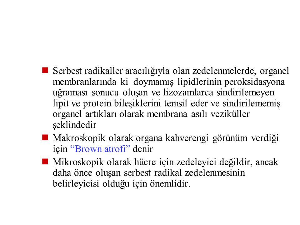 Endojen Pigmentler Lipofussin Melanin Hemoglobin türevleri Lipofussin (yıpranma pigment), sıvı içinde çözülmeyen, kahverengimsi sarı, granüler, hi mad