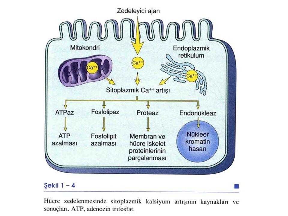 ***Membran hasarının mekanizması ne olursa olsun sonuçta; Hi materyallerin yoğun sızıntısı ve Ca un bol miktarda hi ne girmesi ile sonlanır. Hücre ölü