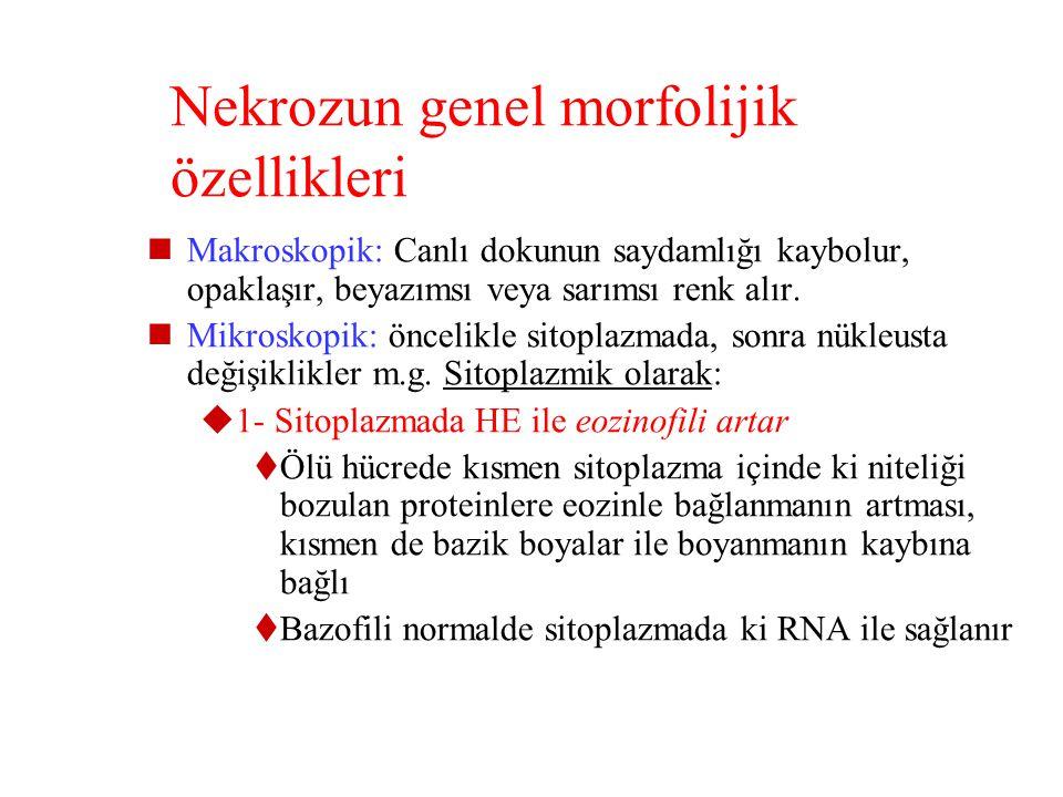 NEKROZ Nekrozda iki temel olay vardır  1- Hücrenin enzimatik sindirimi:  Enzimler ölü hücrenin lizozomlarından kaynaklanıyorsa buna otoliz, o bölged