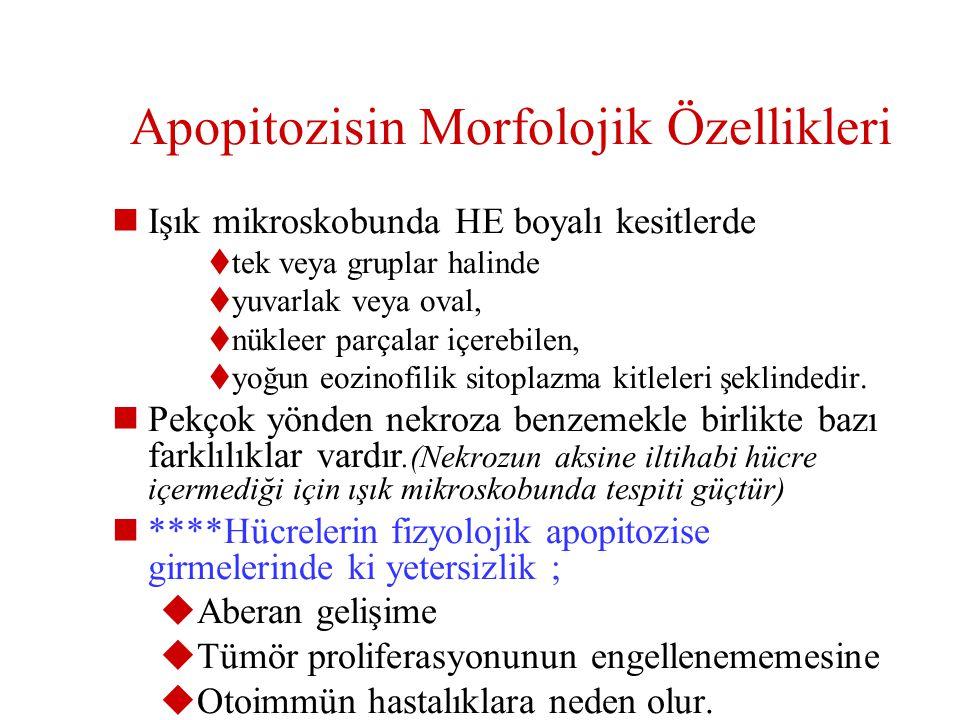 6- Hormona bağımlı dokularda patolojik atrofi ( orşiektomi sonrası prostat atrofisi, glukokortikoid kullanımı sonucu timusta lenfosit kaybı) 7- Parank