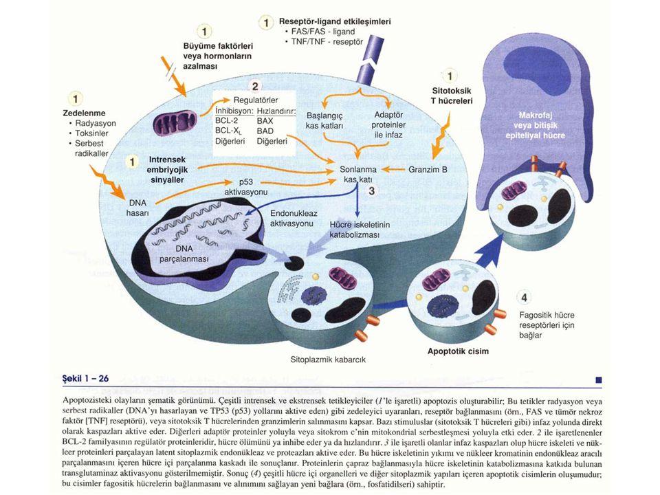 4- Ölü hücrelerin ortadan kaldırılması: Apopitotik hücreler veya cisimciklerin komşu hücreler veya fagositler tarafından ortadan kaldırılmasını kolayl