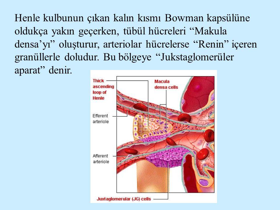 """Henle kulbunun çıkan kalın kısmı Bowman kapsülüne oldukça yakın geçerken, tübül hücreleri """"Makula densa'yı"""" oluşturur, arteriolar hücrelerse """"Renin"""" i"""