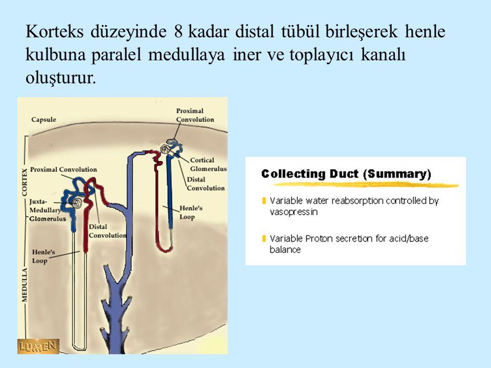 Korteks düzeyinde 8 kadar distal tübül birleşerek henle kulbuna paralel medullaya iner ve toplayıcı kanalı oluşturur.