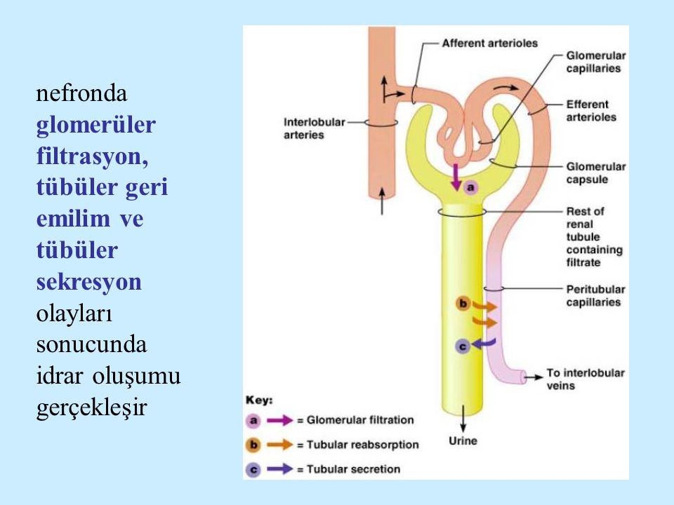 nefronda glomerüler filtrasyon, tübüler geri emilim ve tübüler sekresyon olayları sonucunda idrar oluşumu gerçekleşir