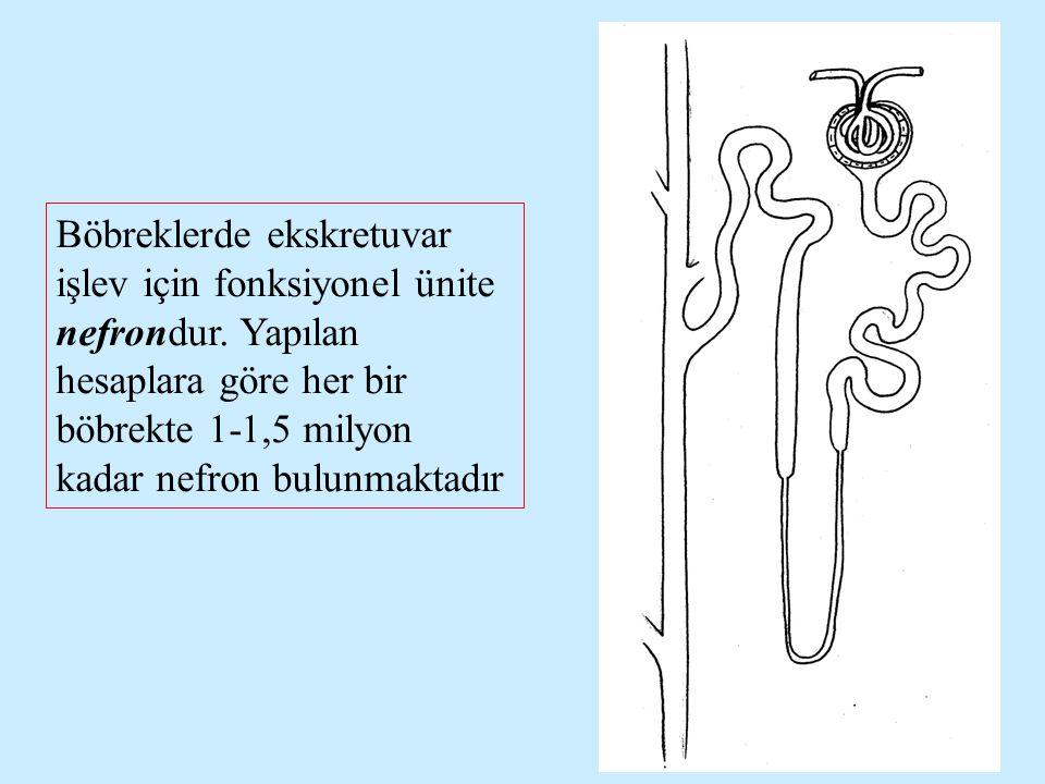 Nefron; glomerul, proksimal tübül, henle kulbu, distal tübül ve toplayıcı kanaldan oluşur.