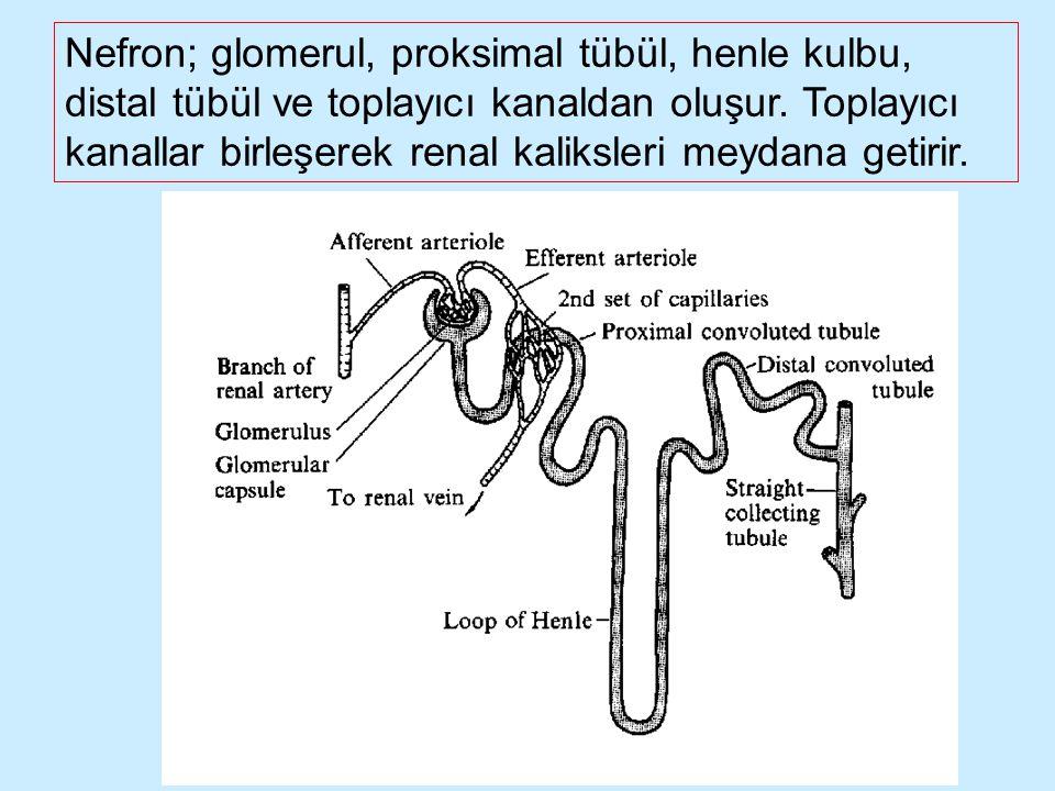 Nefron; glomerul, proksimal tübül, henle kulbu, distal tübül ve toplayıcı kanaldan oluşur. Toplayıcı kanallar birleşerek renal kaliksleri meydana geti